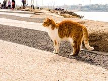 Tel Aviv, Israël - Februari 4, 2017: Rode kat met witte vlekken op het strand van Tel. Baruch in Tel Aviv stock afbeelding