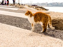 Tel Aviv, Israel - February 4, 2017: Red cat with white spots on the beach of Tel Baruch in Tel Aviv.  stock image