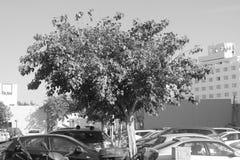 Tel Iv drzewo Obrazy Royalty Free