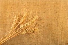 Tela di juta con nove orecchie del grano Immagine Stock