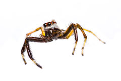 of Telamonia Dimidiata jumping spider Stock Photography