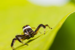 Telamonia Dimidiata jumping spider Stock Photos