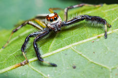 Telamonia Dimidiata jumping spider Royalty Free Stock Photo