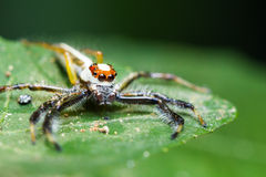 Telamonia Dimidiata jumping spider Royalty Free Stock Photography