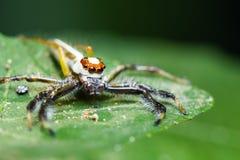 Telamonia Dimidiata jumping spider Royalty Free Stock Photography