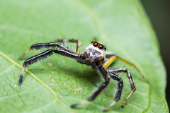 Telamonia Dimidiata jumping spider Stock Photo