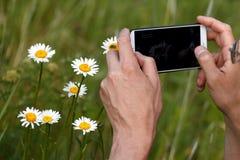 Telefon übergibt Kamillenkraut Stockfoto