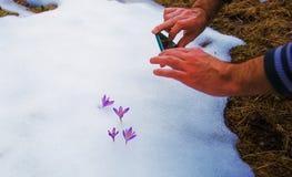 Telefone que toma imagens das flores da mola Açafrões na neve Imagem de Stock Royalty Free