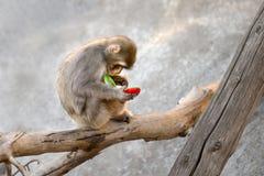 Telefono della scimmia Immagini Stock Libere da Diritti