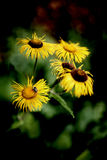 Telekia speciosa - Heartleaf Oxeye Daisy Stock Image