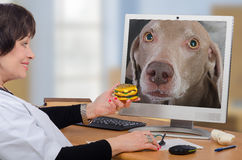 Telemedicine vet gives a hamburger to dog in monitor. Telemedicine veterinarian gives a hamburger to weimaraner dog in computer monitor. Doctor invites her to royalty free stock photo