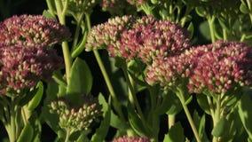 Telephium de florescência de Hylotelephium do orpine do cultivar no jardim Plantas decorativas para o jardim do outono filme