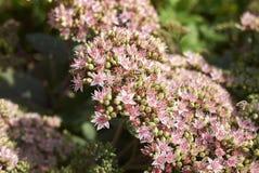 Telephium Sedum 'Matrona' με τη μέλισσα Στοκ Εικόνες