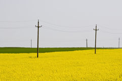 Telephone electricity poles in yellow rapeseed. (brassica napus) field Stock Photos