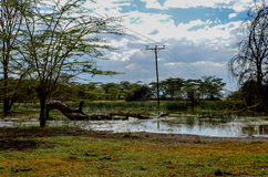 Telephone pole through swamp by acacia trees Royalty Free Stock Photo