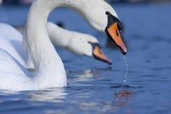 telephoto лебедей съемки стоковое фото