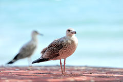 A telephoto of a sea gull Stock Photos