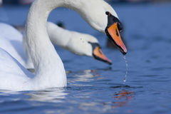 Telephoto shot of swans. Two swans with waterdrops on feathers stock photo
