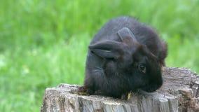 Telephoto strzelał czarny królik na fiszorku zbiory wideo