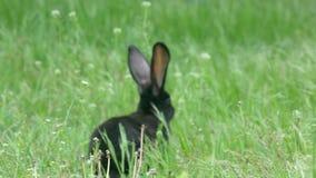 Telephoto strzelał królik kraść w zielonej trawie zbiory