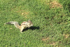 Young Squirrel Eating . Royalty Free Stock Photo