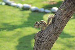 Young Squirrel. Royalty Free Stock Photo