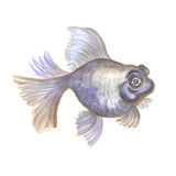 Telescope eye fish. Black aquarium small fish the telescope on a white background. Watercolor painting Stock Images