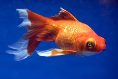 Telescope Eye Goldfish. Carassius auratus Stock Photo