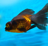 Telescope fish Stock Photography