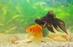 Telescopefish Stock Images