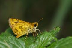 telicota ohara蝴蝶的图象 库存照片