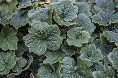 Tellima grandiflora Foglie verdi fondo e carta da parati Immagini Stock