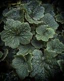 Tellima grandiflora Foglie verdi fondo e carta da parati Immagine Stock Libera da Diritti