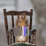 Telling a story. Close up of red squirrel standing on a chair in the snow holding a book Royalty Free Stock Photos