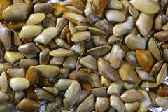 Tellinidae Sunrise tellin clams pattern Stock Photos