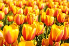 Tellow-red tulips. Close up view of flowering yellow tulips on a tulip field Stock Photography