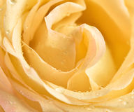 Tellow rose bud macro Royalty Free Stock Photography