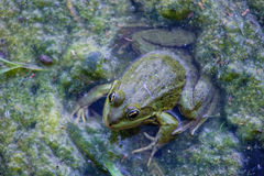 Telmicolous green  frog. Background with green  frog and river aquatic plants Stock Photos