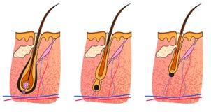 Telogen do catagen de Anagen ilustração do vetor