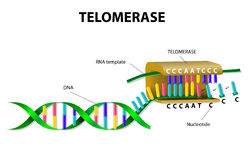 Telomerase elongates telomere Stock Photos
