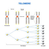 Telomere illustration stock