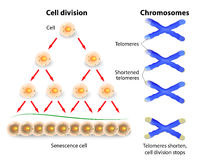 Telomere, cell division and human chromosomes. Telomeres ends serve to protect the coding DNA of the genome. When a telomeres shorten to critical lengths, the Royalty Free Stock Image