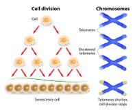 Telomere, celluppdelning och mänskliga kromosomer Royaltyfri Bild