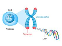 Telomere Chromosome and DNA. Telomeres are protective caps on the end of chromosomes. Cell, chromosome and DNA vector illustration Royalty Free Stock Photos