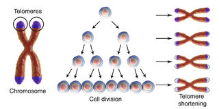 Telomere shortening with each round of cell division vector illustration