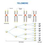 Telomero illustrazione di stock