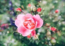 Tema cor-de-rosa de Rose Green Background Snowflake Valentine da flor Imagem de Stock