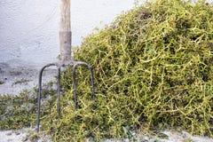 Tema da colheita A uva desengaça o fundo & o x28; apenas stalks& x29; com forcado fotografia de stock