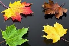 Tema di autunno: foglie di acero di colore rosso-giallo nei precedenti con giallo e le foglie verdi Fotografia Stock