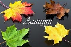 Tema di autunno: foglie di acero di colore rosso-giallo nei precedenti con giallo e foglie verdi e struttura: Foglie di acero di  Fotografie Stock